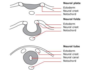 Spina - Neuronal Destruction